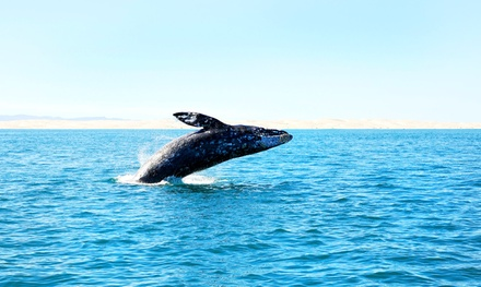 Whale-Watching Tour, Museum Visit, and 11 x 14 Matted Whale Photo for One or Two (50% Off)