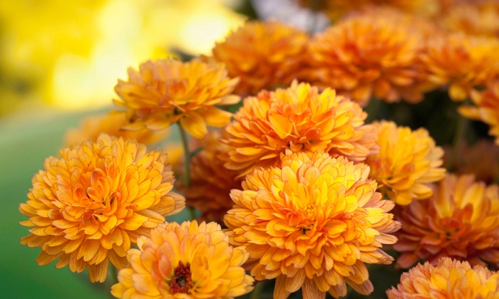 McDonnell Horticulture Inc. - Cameron: $15 for $30 Worth of Chrysanthemums and Pansies at McDonnell Horticulture Inc.
