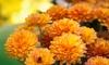 Half Off Chrysanthemums and Pansies