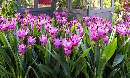 Plantas de Tulipán de Siam