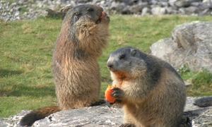 """Parc Pédagogique Myocastors et Kangouroux: Journée """"Soigneur d'un jour"""" au Parc Pédagogique Saint-Nectaire pour 1 ou 2 personnes dès 45,90 €"""