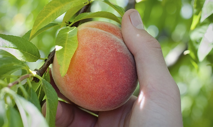 Horse Listeners Orchard - Horse Listeners Orchard: Peach Picking for Two or Four at Horse Listeners Orchard (Up to 42% Off)