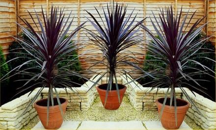 3 Cordyline Red Sensation Plants Groupon Goods