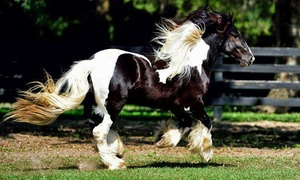 The Gypsy Gold Farm: Horse-Farm Walking Tour for One, Two, or Four at The Gypsy Gold Farm (Up to 39% Off)