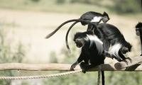 """מקלט הקופים הישראלי ע""""ר- מרכז הצלה לקופים מהגדולים בעולם: פעילויות לכל המשפחה ב-34 ₪ לכרטיס! גם בסופ""""ש וחגים"""