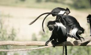 """פארק הקופים: מקלט הקופים הישראלי ע""""ר- מרכז הצלה לקופים מהגדולים בעולם: פעילויות לכל המשפחה ב-34 ₪ לכרטיס! גם בסופ""""ש וחגים"""