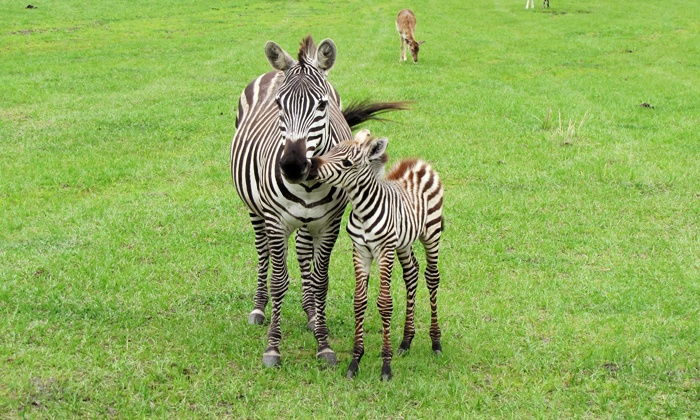 Safari Wilderness Ranch - Lakeland: Safari and Lemur Feeding for One or Two at Safari Wilderness Ranch (Up to 50% Off)