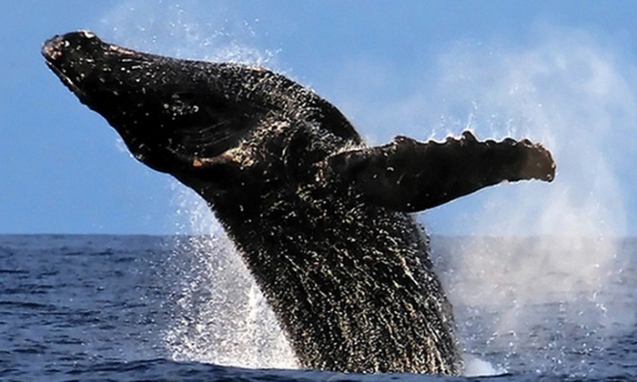 Lava Ocean Tours - Hilo, Hawaii on the Big Island: Whale-Watching Tours for Two or Four from Lava Ocean Tours (30% Off). Four Tours Available.