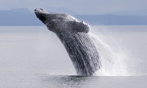 Al Gauron Deep Sea Fishing & Whale Watching: Whale-Watching Tour for One or Two from Al Gauron Deep Sea Fishing & Whale Watching (Up to 55% Off)