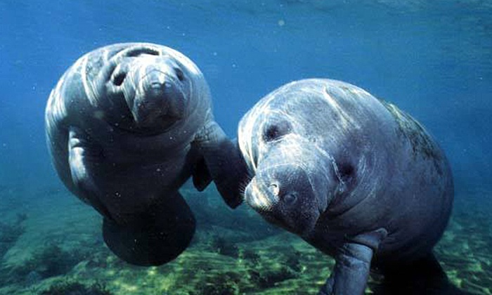 SaltWater Savages - Crystal River: $229 for a Manatee- and Dolphin-Snorkeling Tour for Up to Six at SaltWater Savages ($400 Value)
