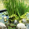 60% Off Free-Floating Pond Plants