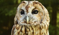 Two-Hour Owl Encounter Experience for One at Falconry Days (61% Off)