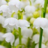 Convallaria Lily of the Valley Flower Bulbs