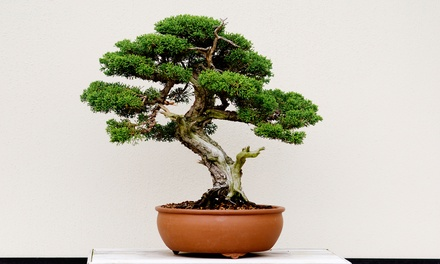 $15 for $30 Worth of Bonsai at Bonsai Beginnings