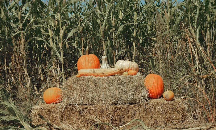 El Paso's Corn Maze - Socorro: Corn Maze Admission for Two or Corn Maze for Four with One Large Pumpkin at El Paso's Corn Maze (Up to 50% Off)