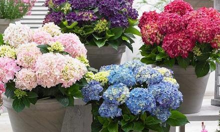 3 o 6 piante di ortensia Hydrangea con altezza alla consegna di ca. 20-35 cm, disponibili in 3 colori
