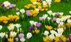 Pre-Order Large Flowering Crocus Blend (75 Bulbs): Pre-Order Large Flowering Crocus Blend (75 Bulbs)