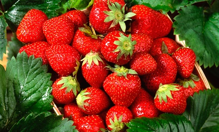 groupon daily deal - Package of 50 Strawberry Everbearing Plants with 20 Quinault and 30 Ozark Beauty Varieties