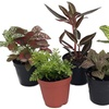 Terrarium and Fairy Garden Plants and Ferns (5-Piece)