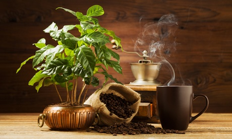 2 o 4 plantas de 'Coffea Arabica'