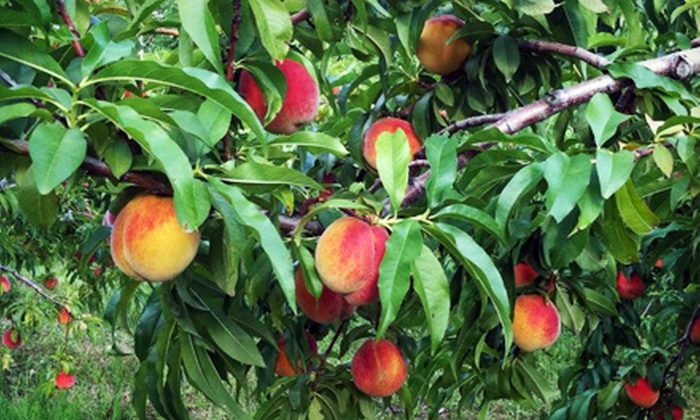 Demarest Farms - Woodcliff Lake: Peach-Picking Adventure for Two, Four, or Six with Hayride, Peaches, and Lunch at Demarest Farms (Half Off)
