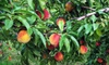 Half Off Peach-Picking at Demarest Farms