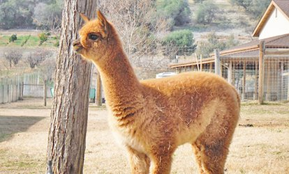 image for Alpaca Walk About with One or Two Alpacas, for Up to Three or Six People All Around (Up to 60% Off)