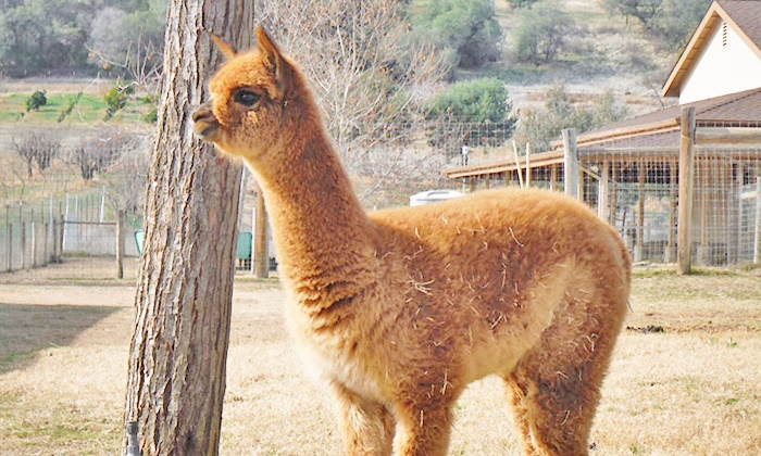 Alpacas All Around - Rocklin: Alpaca Walk About with One or Two Alpacas, for Up to Three or Six People All Around (Up to 60% Off)