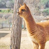 Up to 59% Off Alpaca Walk About