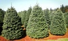 GREAT WEST CHRISTMAS TREES - Multiple Locations: 6- to 7-Foot or 7- to 8-Foot Noble Fir Christmas Tree at Great West Christmas Trees (Up to 46% Off)