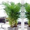 Luftreinigende Areca-Palme