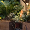 Sago Palm Tree in Reclaimed Wood Planter