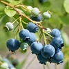 $14.99 for a Blueberry-Growing Kit