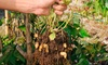 Grow Your Own Peanut Plant Kit: Grow Your Own Peanut Plant Kit