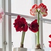 Amaryllis Spring Mixed Flower Bulb Collection (5-Count)