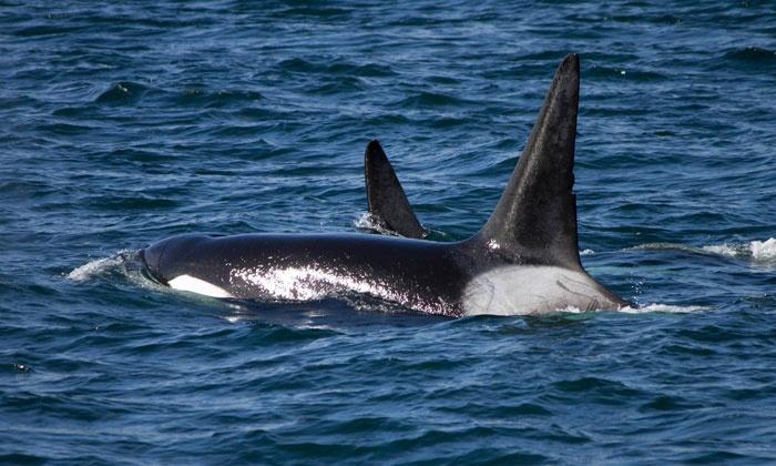 Puget Sound Express - Port Townsend: $49.50 for an All-Day San Juan Island Whale-Watching Tour from Puget Sound Express ($103.50 Value)