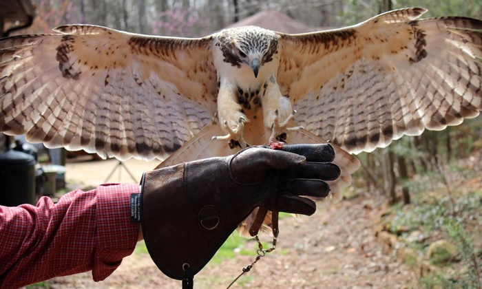 Wings to Soar - Lookout Valley - Lookout Mountain: Interactive Raptor Experience for Two or Four at Wings to Soar (Up to 58% Off)