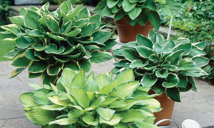 hosta plant care instructions