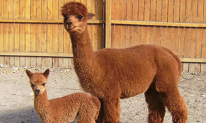 Ancient Treasures Alpaca Ranch - Indiana St. & 78th Ave., Arvada: Admission for Two Adults and Two or Five Children at Ancient Treasures Alpaca Ranch (Up to 44% Off)