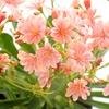 """Pre-Order Flowering Lewisia Succulent in 4"""" Grow Pot (1 or 2 pack)"""