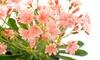 "Flowering Lewisia Succulent: Pre-Order Flowering Lewisia Succulent in 4"" Grow Pot (1 or 2 pack)"