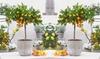 Calamondin/citrus limon/kumquat