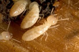 Lenny's Pest Control: Subterranean Termite Treatment from Lenny's Pest Control Inc (34% Off)