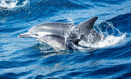 Tickets for a Whale Watching and Dolphin Cruise from Davey's Locker Whale Watchings (Up to 70% Off)