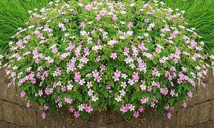 12 Hardy Geranium Rose Clair Plants