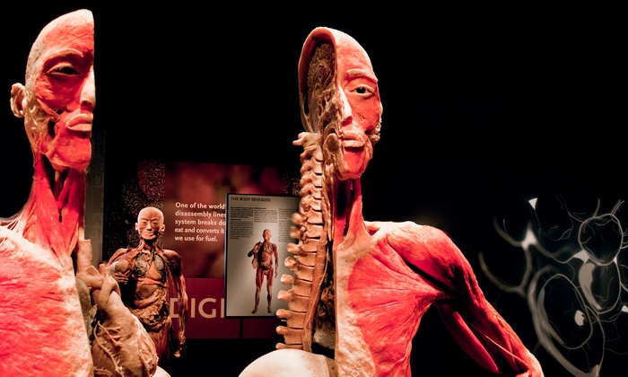 than organs and partial body specimens. These real human bodies have been meticulously dissected, preserved through an innovative process and respectfully presented, giving visitors the opportunity to view the beauty and complexity of their own organs and bodies.