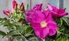Hardy Shrub Collection Plants