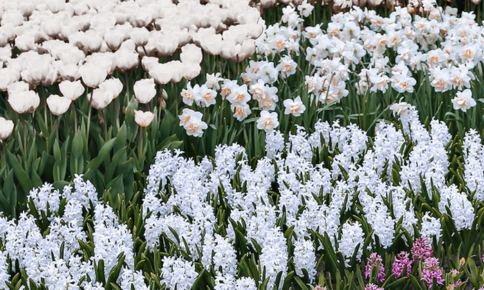 White flower bulbs 25 bulbs groupon goods all white flower garden collection 25 bulbs mightylinksfo
