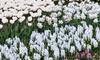 All White Flower Garden Collection (25-Bulbs): All White Flower Garden Collection (25-Bulbs)