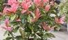 1, 2 ou 3 photinias, baie de Noël